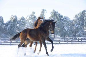 Yearlings In Snow, 7482