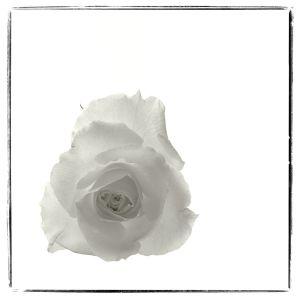 Rose, White On White