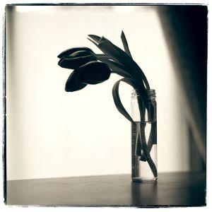 Tulips, 1980